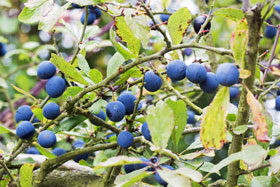 Ripe sloes on a tree in later October