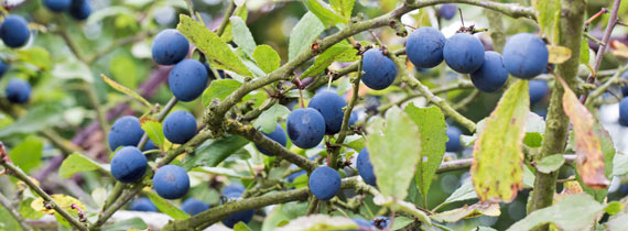 Ripe sloes on a bush at the end of October