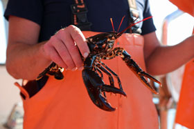 Lobster hauled up on a lobster safari on the west coast of Sweden