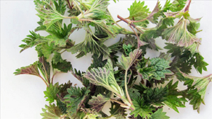 Spring stinging nettle tops make a delicious soup