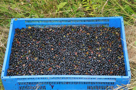 A tray of bilberries