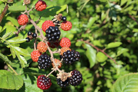Blackberries growing a hedgerow in southern England