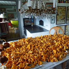 Chanterelle mushrooms on a dining table