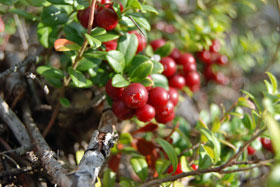 Lingonberries growing on a bush in Sweden