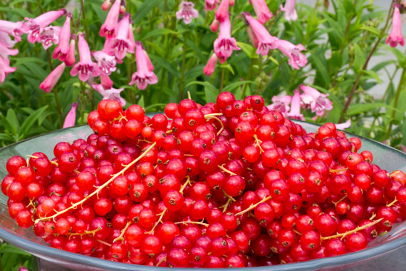 A dish of redcurrants